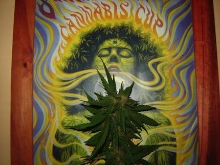 Фестиваль Cannabis Cup.jpg